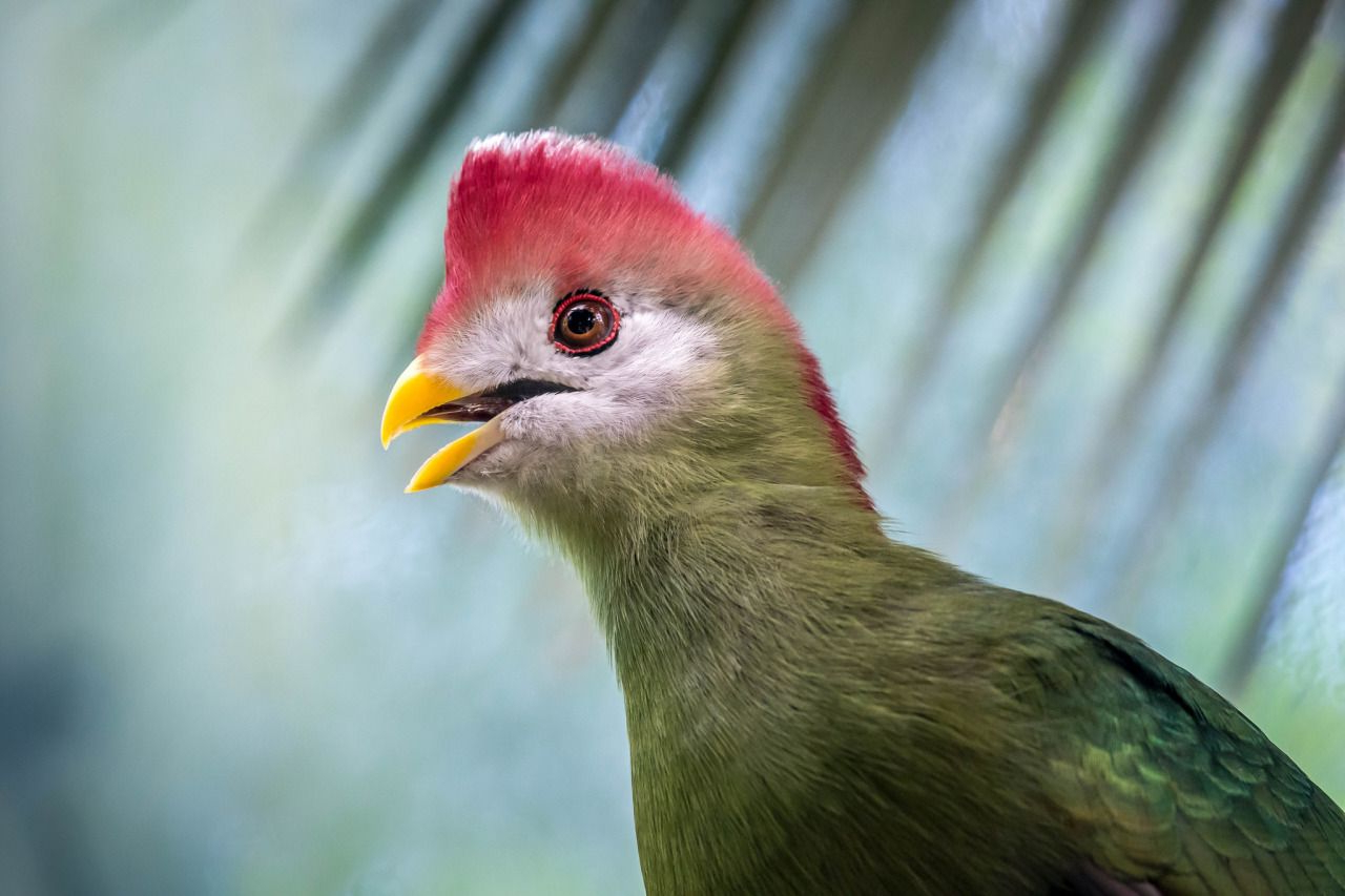 Colorful Turaco Rockin' The Bright Red Mohawk (View 3 of 20)